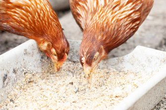 chicken feed supplements vitamins